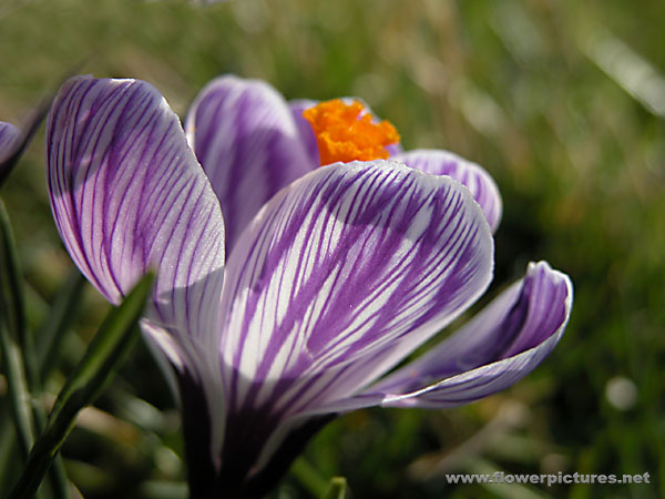 Crocuses nurseries