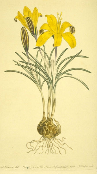 Cloth of gold (Crocus angustifolius)